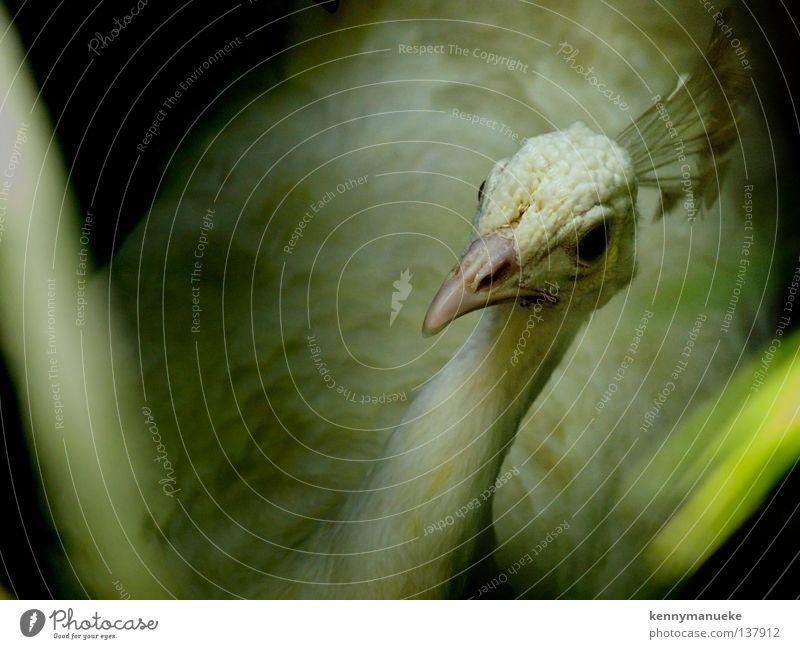 White Peacock Bali Albino Bird white indonesia wildlife conservation eye crown