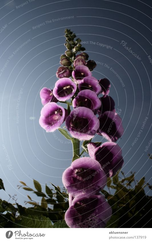 skyscrapers Foxglove Blossom Dark Violet Green Under Pattern Multiple Plant Red foxglove Poison Sky Colour Reflection Calyx Blue Many Point Lighting