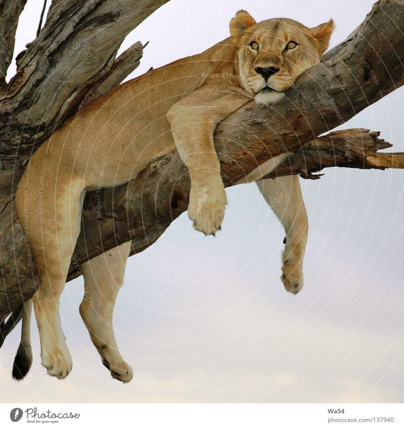 Sky Tree Cat Animal Far-off places Relaxation Dream Think Brown Africa Branch Pelt Zoo Fatigue Wild animal Boredom
