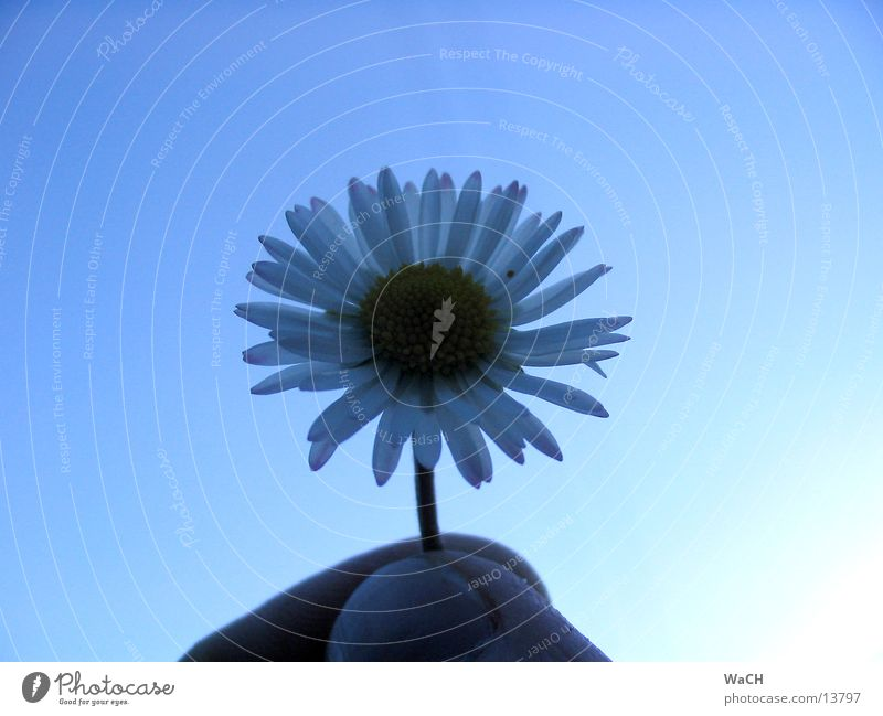 Sky Nature Blue Beautiful Flower Freedom Blossom Small Fingers Beautiful weather Daisy Blossom leave Hand Calyx