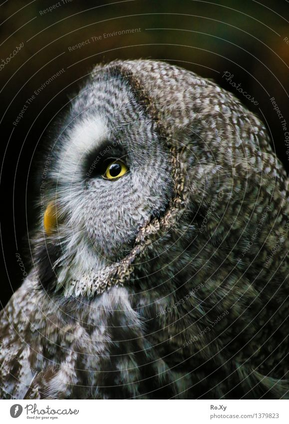 Eagle owl - profile of an owl Animal Owl birds 1 Free Calm Feather profile picture Eyes Beak Colour photo Exterior shot Deserted Day Half-profile