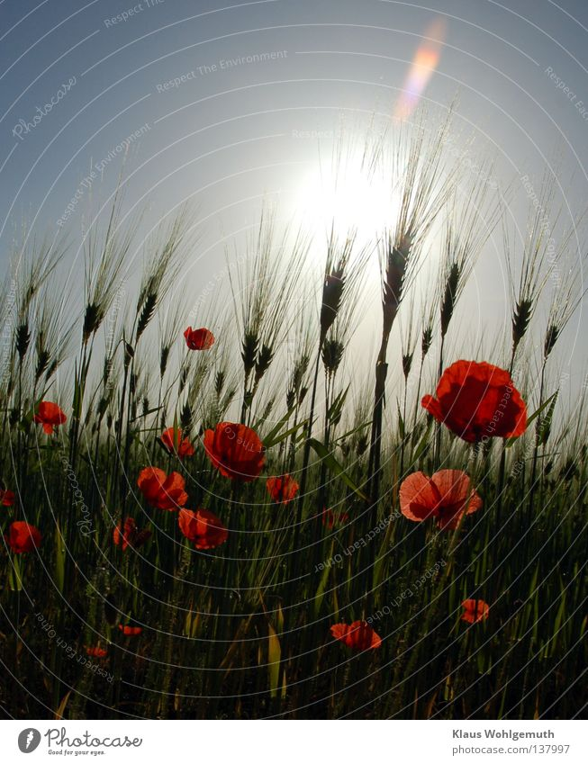 Nature Sky Sun Flower Plant Red Summer Blossom Field Wind Grain Poppy Blade of grass Botany Agriculture Real estate