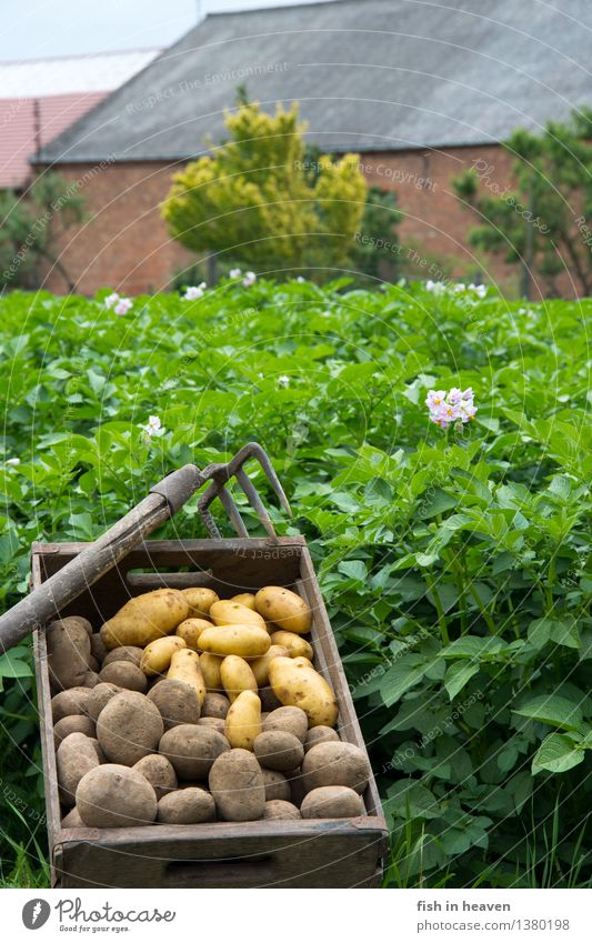Potato field with Molle full of potatoes Food Vegetable Nutrition Organic produce Vegetarian diet Nature Plant Agricultural crop Field Delicious Natural Green