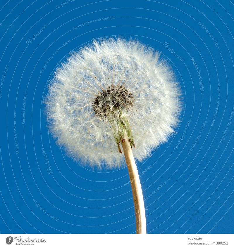 Dandelion; Taraxacum; officinale; Alternative medicine Nature Plant Blossom Wild plant Free Blue White taraxacum meadow plant meadow plants Seed augmentation