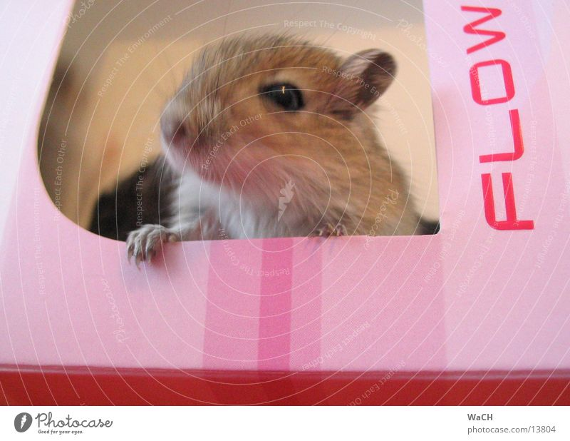 House (Residential Structure) Animal Gray Pink Mouse Mammal Pet Tails Carton Claw Offspring Rodent Packaging Baby animal Mouse trap House mouse