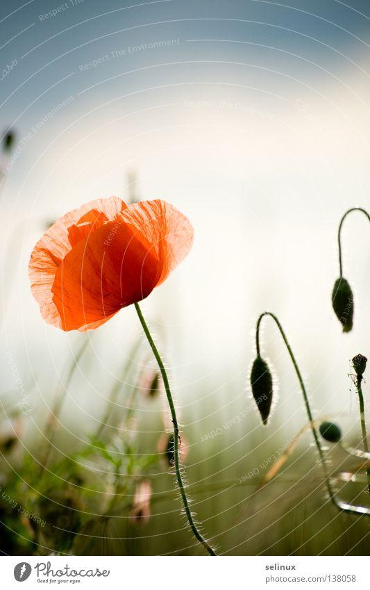 Nature Sky Red Blossom Grass Field Poppy