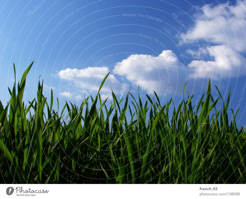 relaxed day Grass Meadow Green Juicy Spring Calm Relaxation Summer Seasons Blade of grass Horizon Sky Cyan Clouds Worm's-eye view Saxony-Anhalt Plant Animal
