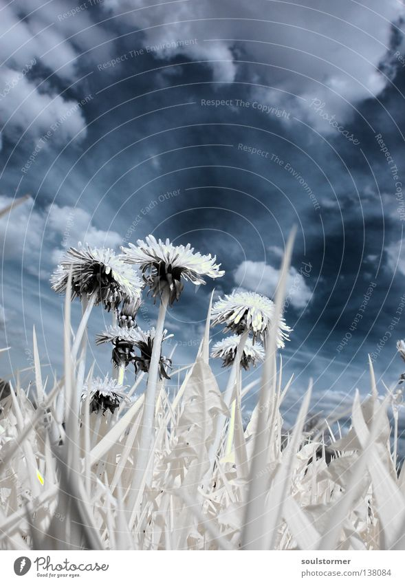 Sky Nature Blue White Tree Plant Clouds Black Meadow Grass Spring Tall Pasture Dandelion Surrealism Sunflower