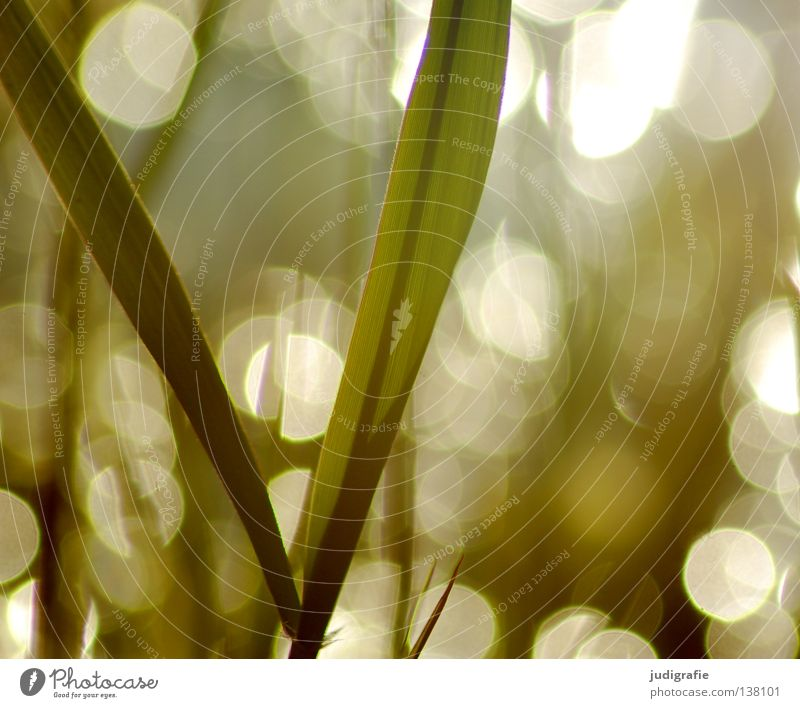 grass Grass Common Reed Back-light Evening sun Glittering Environment Plant Beautiful Delicate Dream Colour Summer Sun Lamp Nature Point reflection Coast
