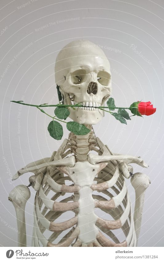 Skeleton - Rosenkavalier Body Head Plant Gray Pink White Love Love affair Gentleman Mouth Declaration of love Display of affection With love Colour photo