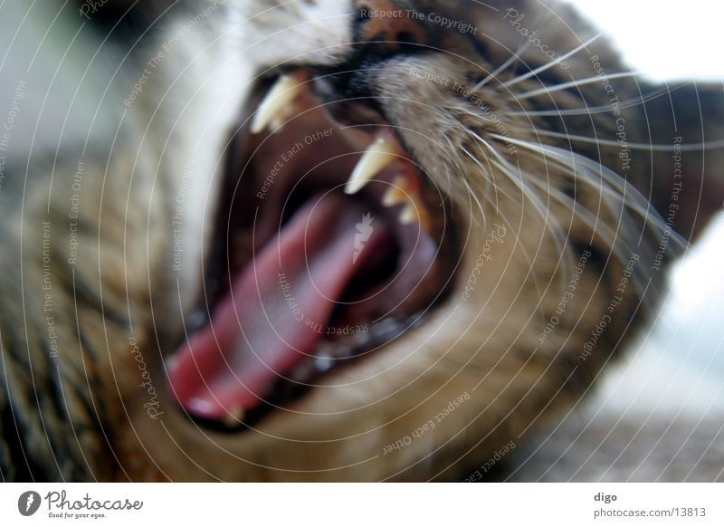 I am very tired Cat Yawn Set of teeth Macro (Extreme close-up) Close-up Fatigue Blur Animal Pet Snarl
