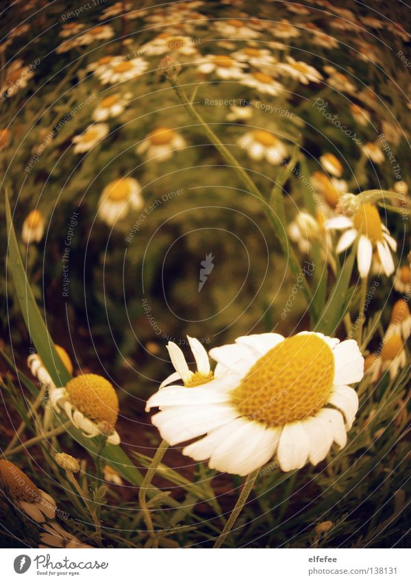 White Flower Yellow Meadow Grass Spring Happy Happiness Growth Bushes Idyll Blossoming Harvest Daisy Whirlpool Light heartedness