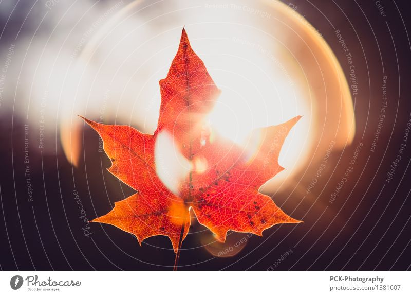 Autumn leaf in the light Environment Nature Plant Sun Sunlight Beautiful weather Leaf Illuminate Yellow Gold Orange Red Hope Horizon Idyll Autumn leaves Rachis