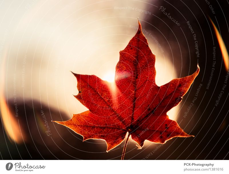 Red leaf Plant Sun Sunlight Autumn Leaf Emotions Moody Rachis autumn leaf golden hour flare Orange Maple leaf Colour photo Exterior shot Twilight