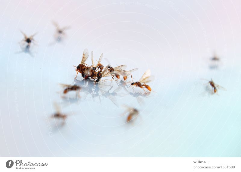 Strong Insect Force Aggression Feeble Ant Propagation Hymenoptera