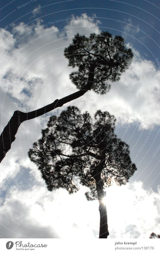 Sky Blue Tree Sun Clouds Bright Branch Tree trunk Twig Treetop Rome Dazzle Bad weather South Stone pine