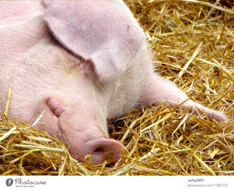 A relaxed and happy 2016!!! Animal Farm animal Swine Relaxation To enjoy Lie Sleep Dream Healthy Pink Happy Break Calm Pig's snout Barn Hay Straw Contentment