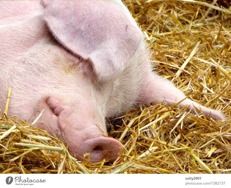 Relaxation Calm Animal Healthy Happy Pink Dream Contentment Lie To enjoy Sleep Break Agriculture Farm Cozy Organic farming