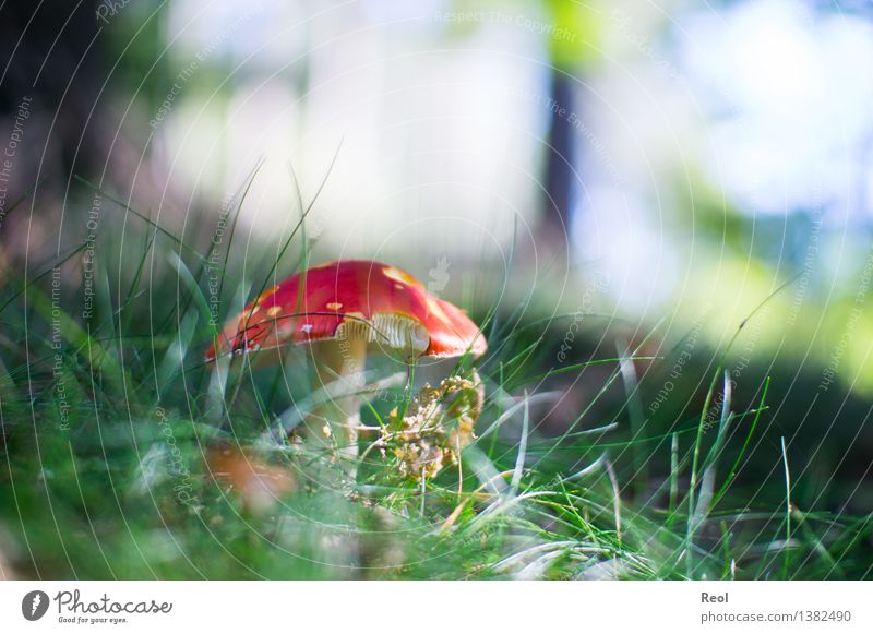 Fly agaric II Environment Nature Plant Earth Autumn Grass Foliage plant Wild plant Mushroom Mushroom cap Amanita mushroom Meadow Forest Woodground Ground Growth