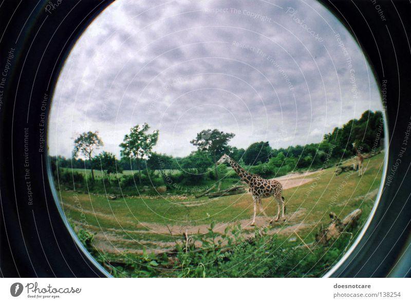 Nature Animal Africa Steppe Safari Giraffe Fisheye Savannah Ruminant Even-toed ungulate