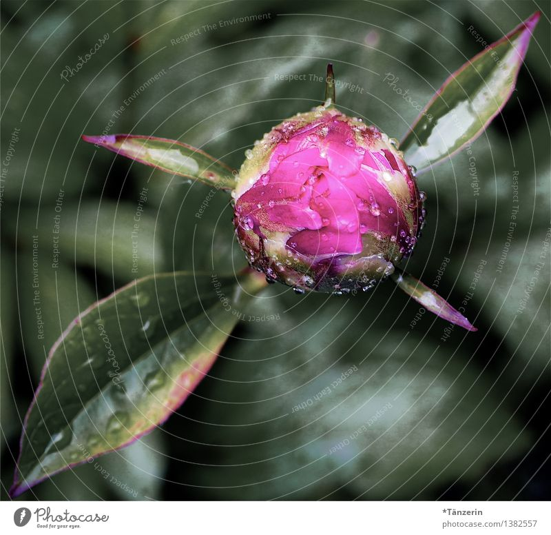 freshly showered Nature Plant Drops of water Spring Bad weather Rain Blossom Peony Bud Garden Esthetic Fresh Beautiful Green Pink Colour photo Multicoloured