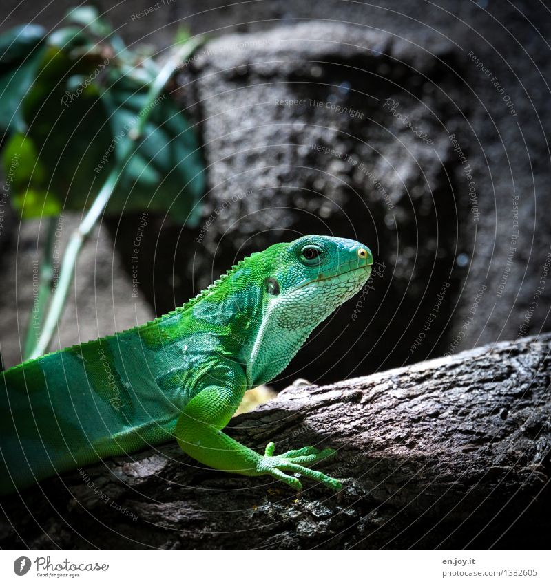 little dragon Animal Pet Wild animal Iguana Reptiles Saurians 1 Observe Exotic Green Love of animals Nature Survive Environment Environmental protection Scales
