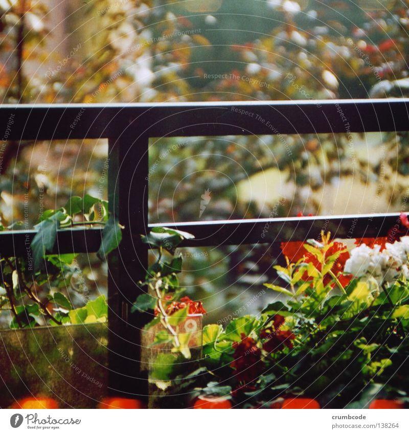 White Flower Green Plant Red Leaf Blossom Blossoming Balcony Botany Handrail Terrace Tendril Balcony plant