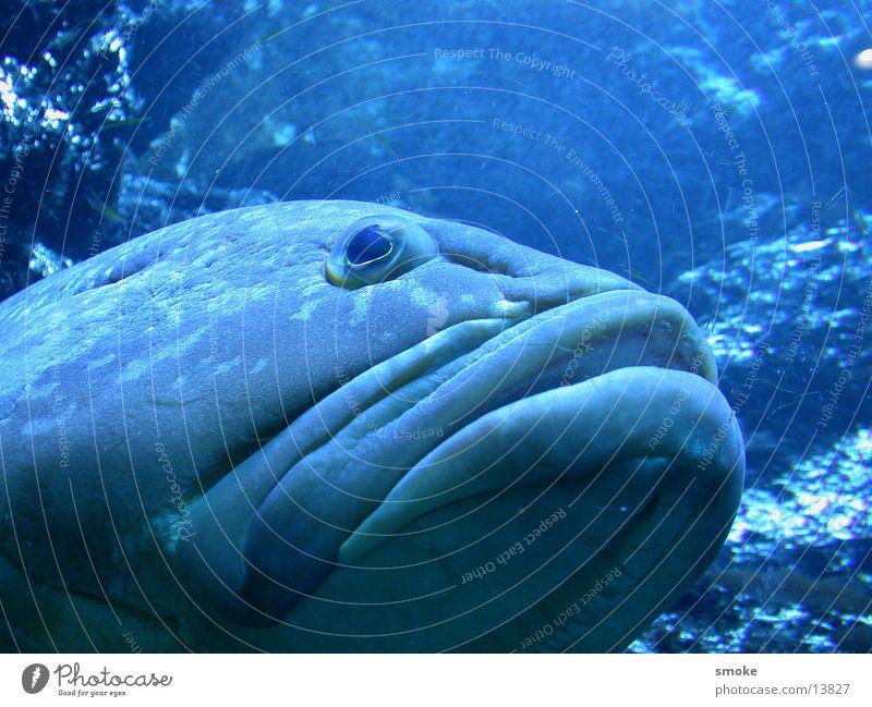 blue fish Fish Muzzle Blue credulously Eyes Water Nature