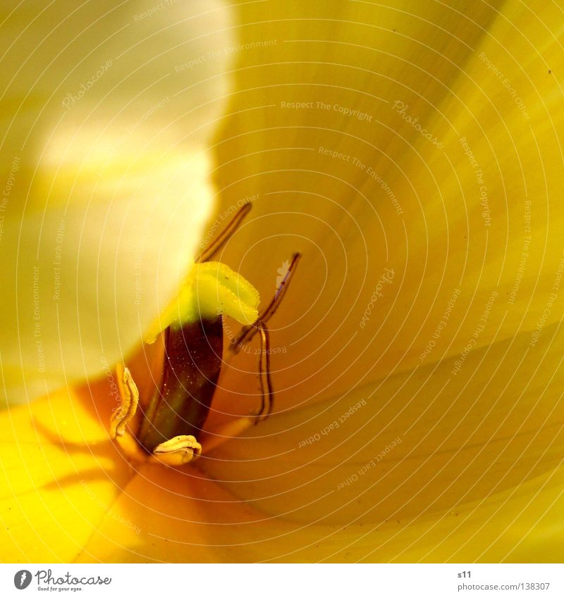 Yellow Beauty Tulip Spring flower Flower Blossom Seasons Blossom leave Concealed Plant Macro (Extreme close-up) Close-up Beautiful tulipa spring greeting