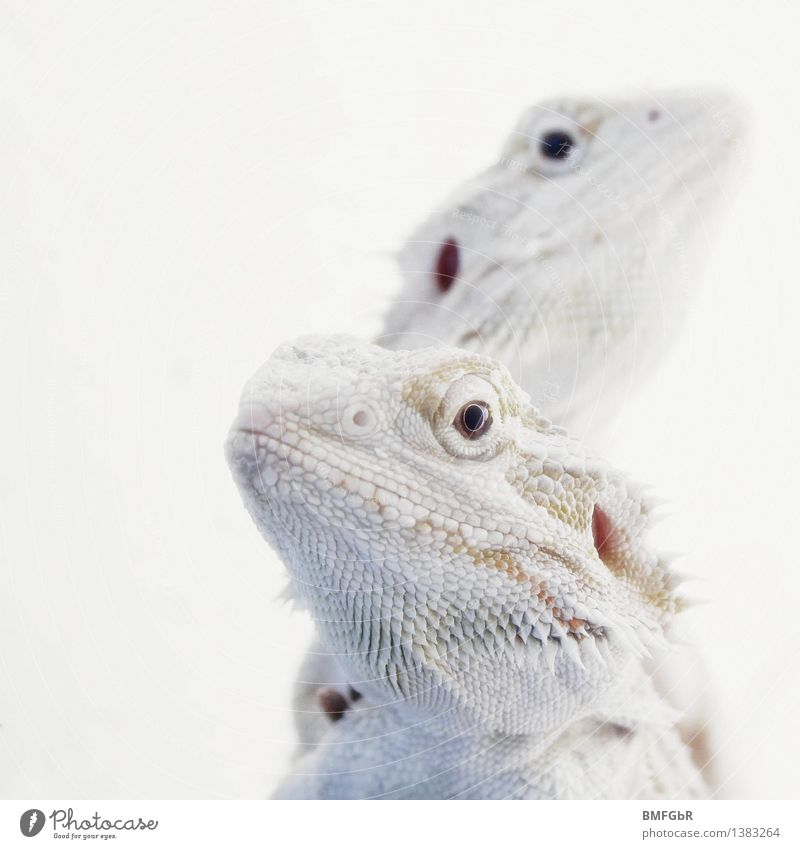 White Dragons Animal Scales Reptiles Barbed agame Saurians 2 Pair of animals Observe Crouch Looking Exceptional Exotic Fantastic Bright Cold Astute Funny
