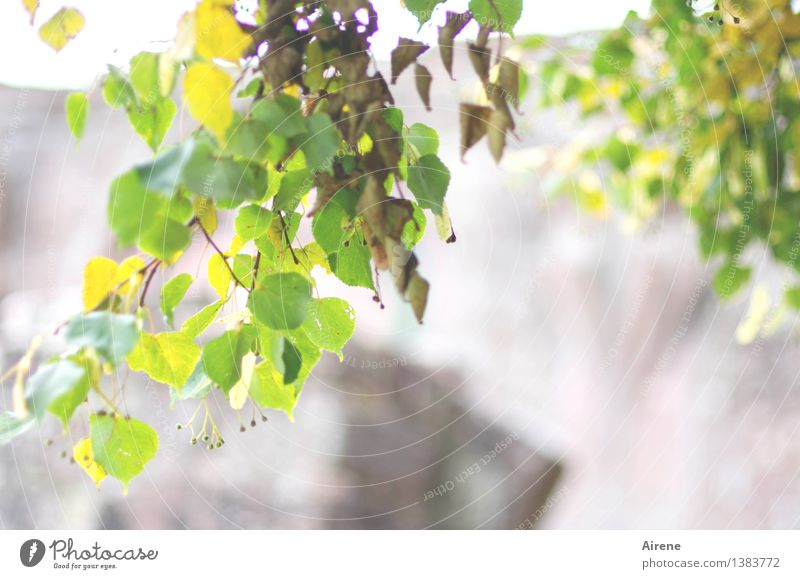 Plant Green Summer White Tree Leaf Yellow Autumn Natural Healthy Bright Growth Blossoming Delicious Medication Fragrance