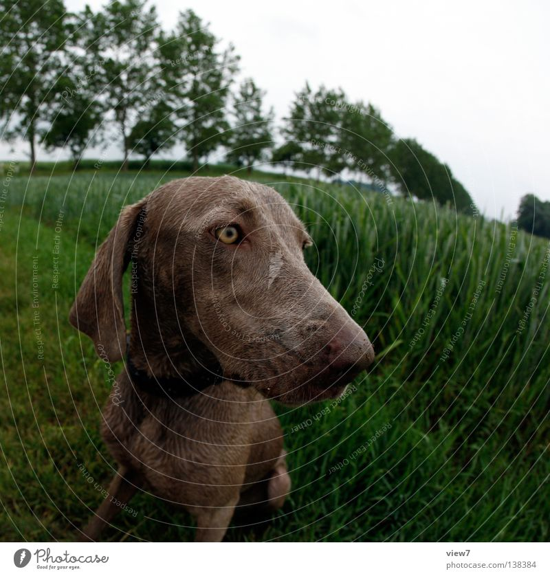 Eyes Dog Field Wet Free Pelt Damp Watchfulness Mammal Pet Tilt Attentive Distorted Hound Weimaraner Watchdog