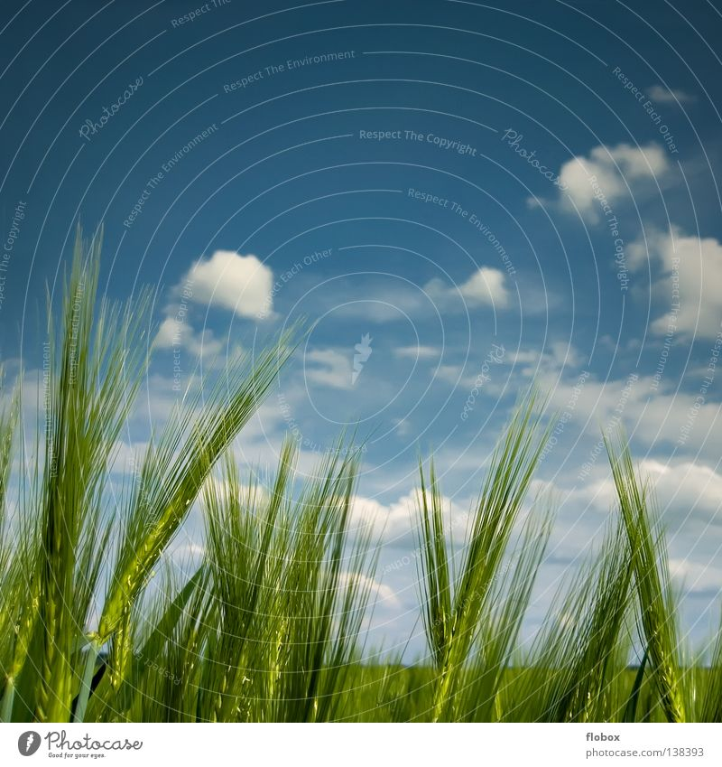 Mild breeze Barley ear Barleyfield Sky blue Green Cloud field Clouds in the sky Beautiful weather Summer Copy Space top Agriculture Nature Ecological