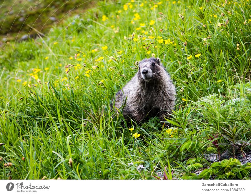 ... I'm coming! Landscape Spring Summer Flower Grass Blossom Meadow Field Alps Mountain Animal Wild animal Pelt Zoo Marmot Rodent Mammal 1 Fat Friendliness Cute