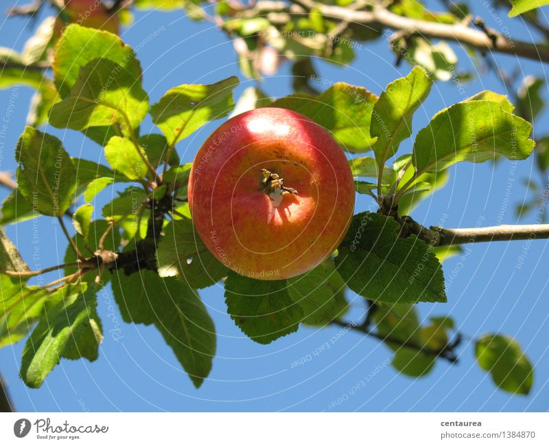 apple Food Fruit Apple Nutrition Organic produce Vegetarian diet Healthy Environment Nature Sky Cloudless sky Sun Autumn Beautiful weather Tree Garden Round