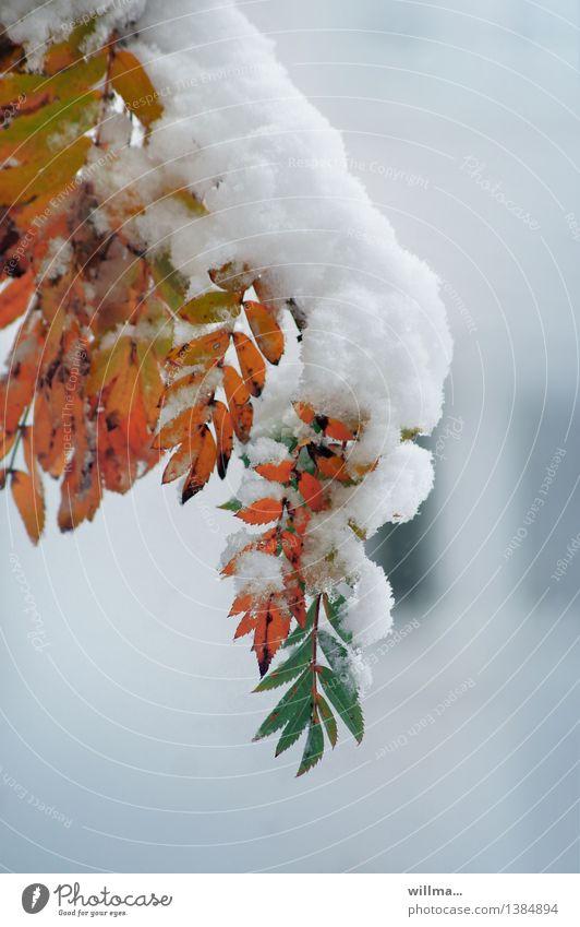 Green White Winter Autumn Snow Orange Twig Autumn leaves Climate change Autumnal colours Rowan tree