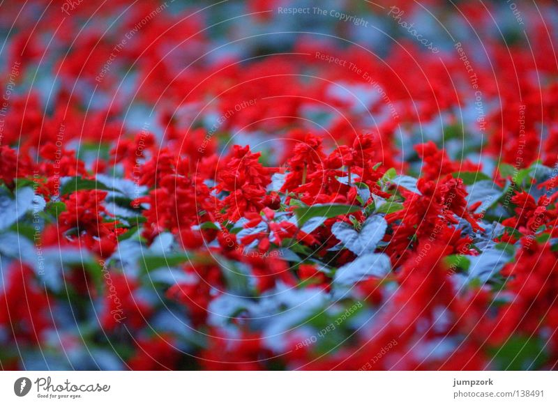 Flower Blue Red Colour Spring Pattern Flowerbed