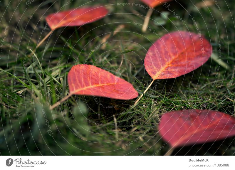 Nature Plant Green Colour Red Leaf Environment Yellow Autumn Meadow Grass Natural Rain Lie Authentic Simple