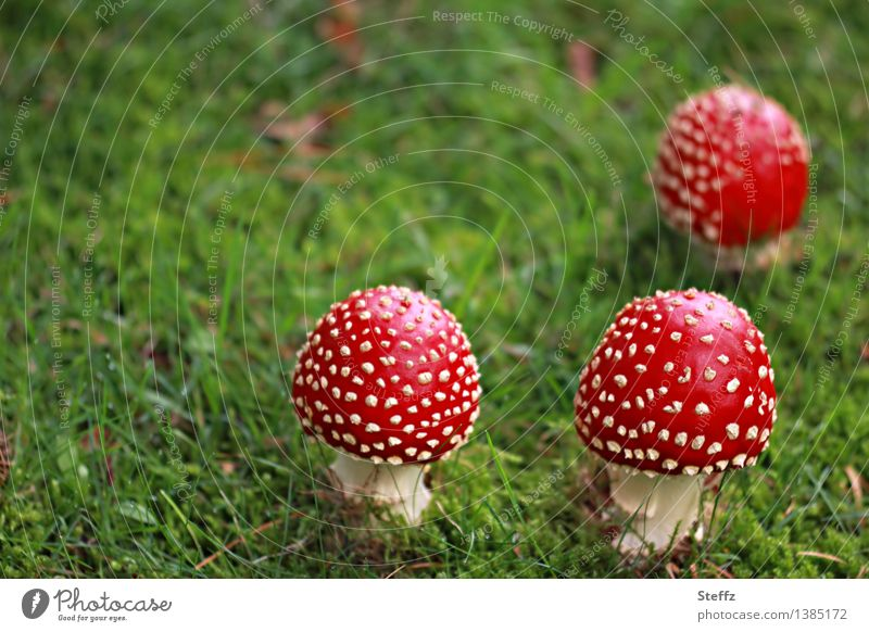 three Little Red Riding Hoods (2) Nature Autumn Grass Amanita mushroom Mushroom Mushroom cap Meadow Forest Edge of the forest Clearing Woodground Glade