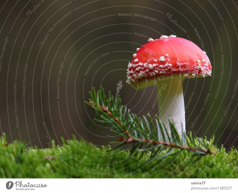 lucky devil Environment Nature Earth Plant Moss Foliage plant Twig Fir needle Amanita mushroom Forest Stand Esthetic Natural Positive Soft Gray Red White Moody