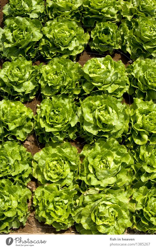 heads of lettuce Food Lettuce Salad Nutrition Organic produce Vegetarian diet Nature Plant Foliage plant Agricultural crop Field Growth Fresh Healthy Natural