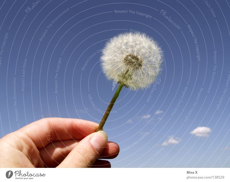dandylion Colour photo Exterior shot Day Summer Aviation Hand Fingers Sky Flower Flying Faded Blue White Dandelion Blow Thumb Clouds Cloud Dandelion seed Stalk