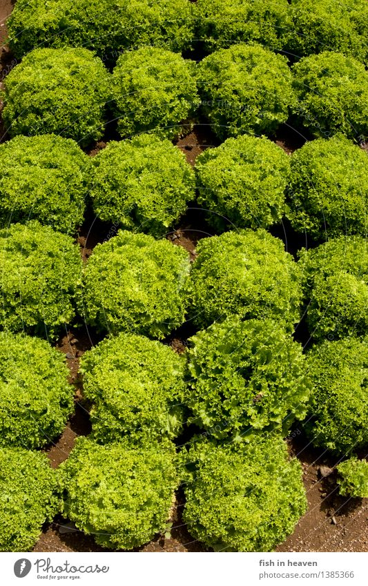 heads of lettuce Food Vegetable Lettuce Salad Nutrition Craftsperson Agriculture Forestry Nature Plant Foliage plant Agricultural crop Field Growth Natural