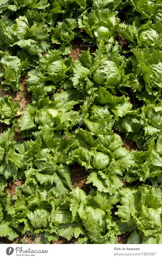 heads of lettuce Food Vegetable Lettuce Salad Nutrition Vegetarian diet Healthy Eating Life Agriculture Forestry Nature Plant Foliage plant Agricultural crop