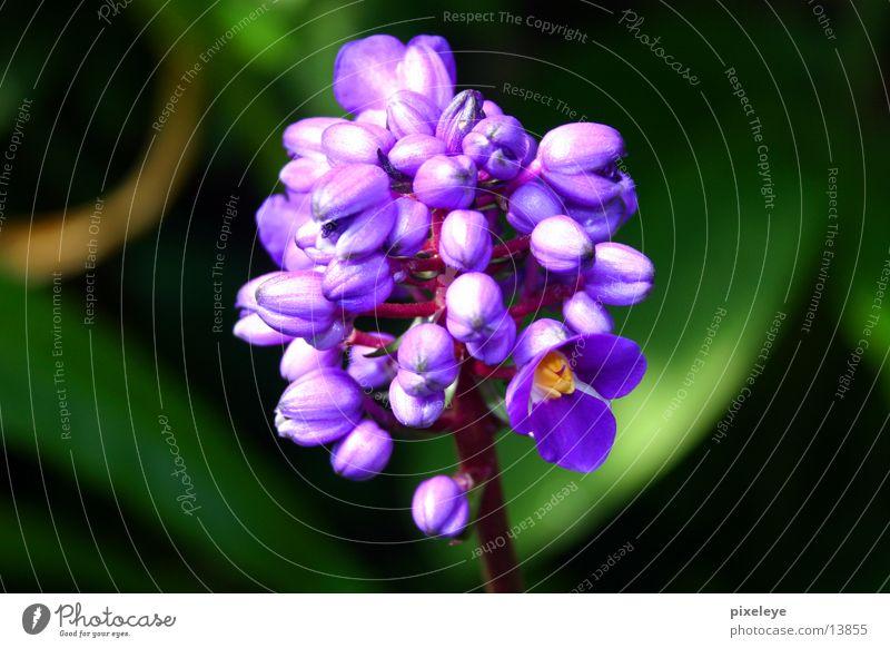 Velvet Flower Violet Plant Macro (Extreme close-up)