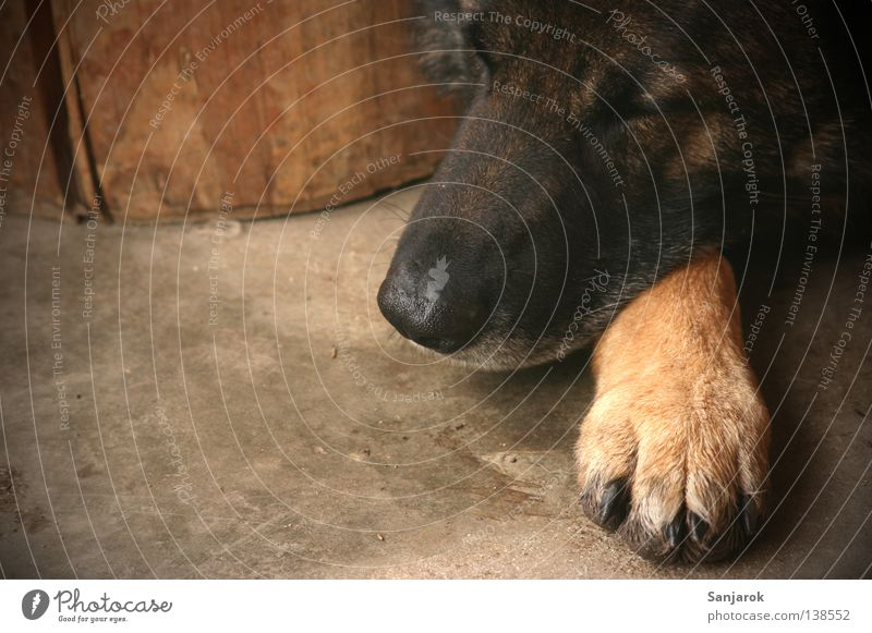 Calm Relaxation Wood Dream Dog Concrete Sleep Floor covering Peace Lie Watchfulness Mammal Paw Snout Claw Wolf