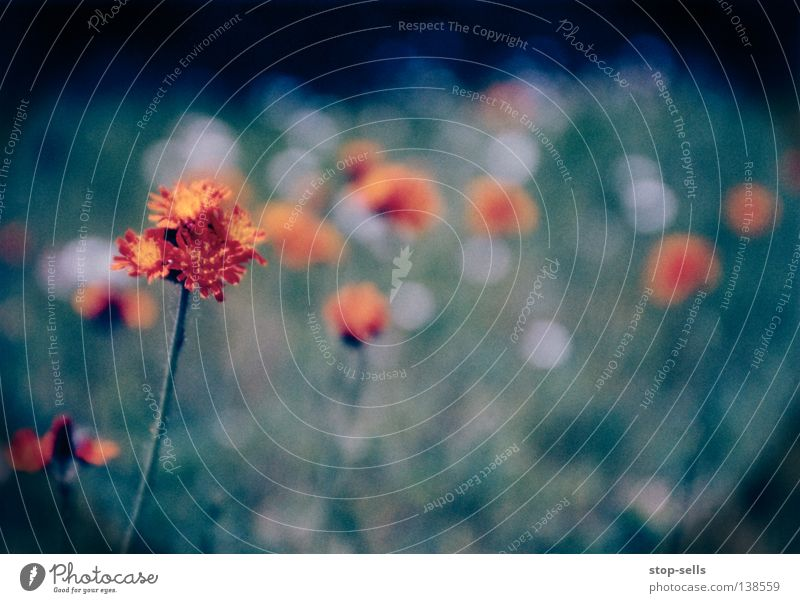 Sick::Flower::Dancin' Blossom Plant Cold Blur Growth Foreground Boredom Living thing Meadow Vignetting Circle Orange Dance Blue Warmth Beautiful Filter Point