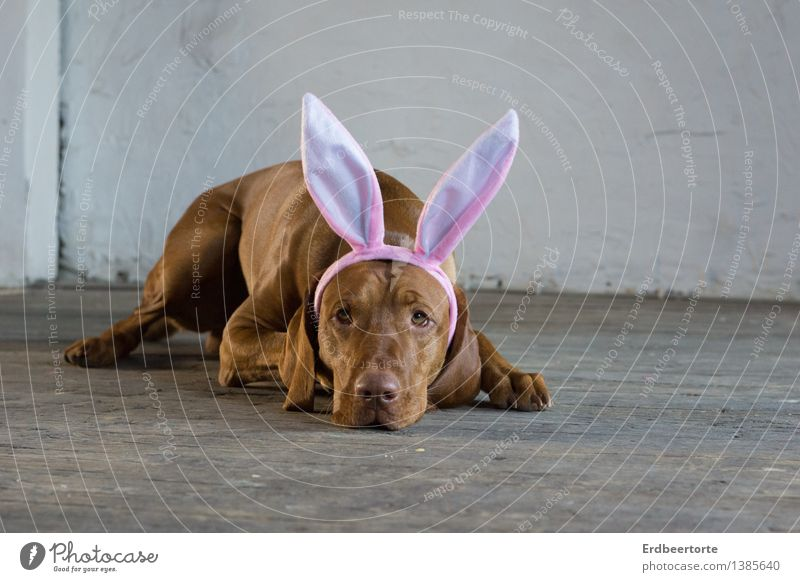 Soon the time will come Animal Pet Dog Hound Magyar Vizsla 1 Observe Lie Wait Serene Patient Calm Self Control Easter Easter Bunny Anticipation Parquet floor