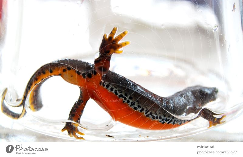 molchi the 3. Newt Amphibian Vase Pattern Summer Water Orange