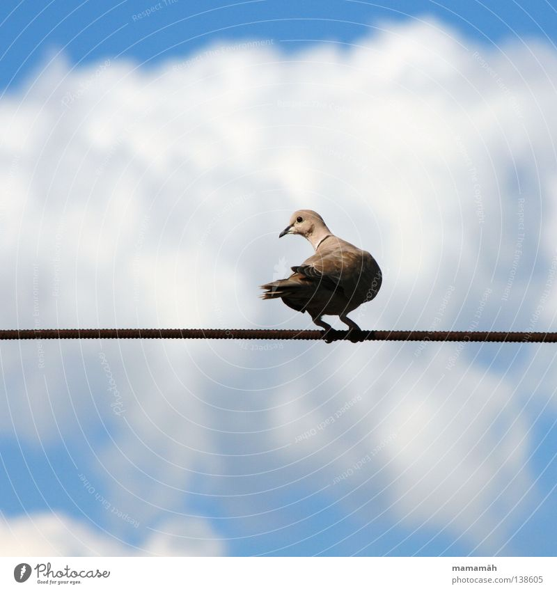 The dove on the tightrope! Part 1 Colour photo Exterior shot Day Profile Rope Air Sky Clouds Animal Bird Pigeon Wing Think To hold on Sit Wait Beak Wire cable